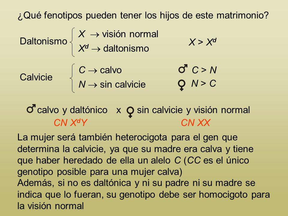 ¿Qué fenotipos pueden tener los hijos de este matrimonio? Daltonismo X visión normal X d daltonismo Calvicie C calvo N sin calvicie X > X d C > N N >