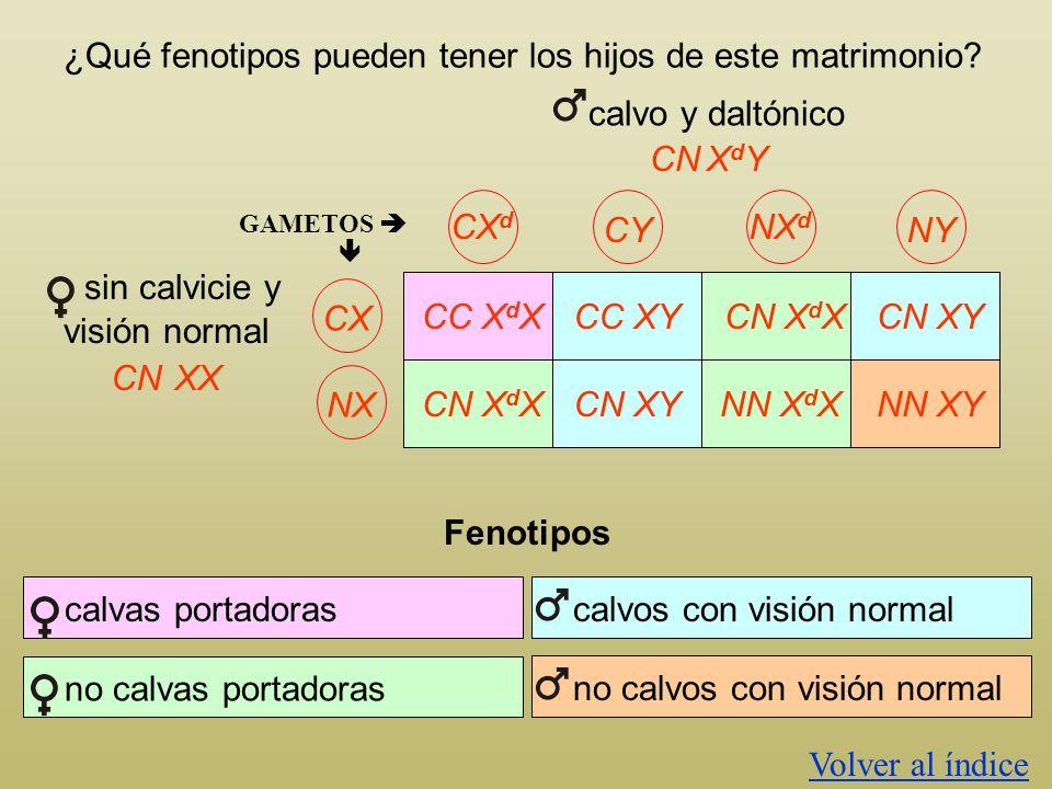 ¿Qué fenotipos pueden tener los hijos de este matrimonio? calvo y daltónico CNXdYXdY CX d CY NX d NYCXNX GAMETOS CC X d X CN X d X CC XY CN XY CN X d