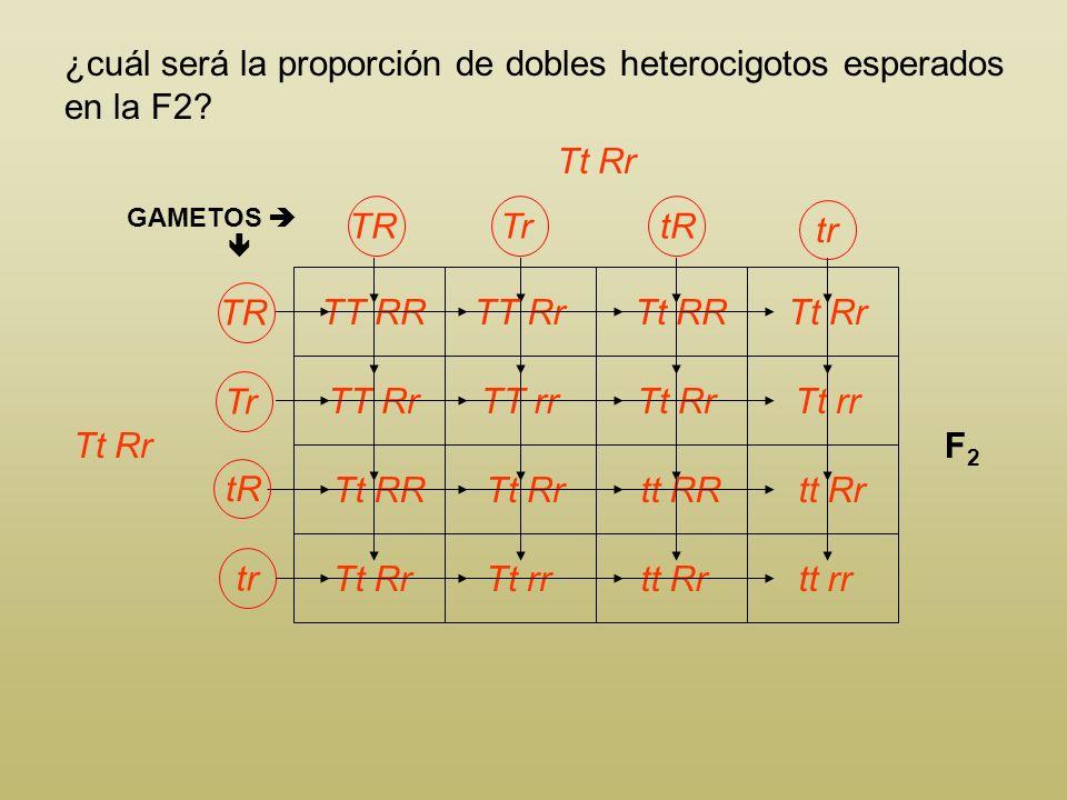 ¿cuál será la proporción de dobles heterocigotos esperados en la F2? Longitud del tallo T tallo alto t tallo enano Color de las flores R flor roja r f