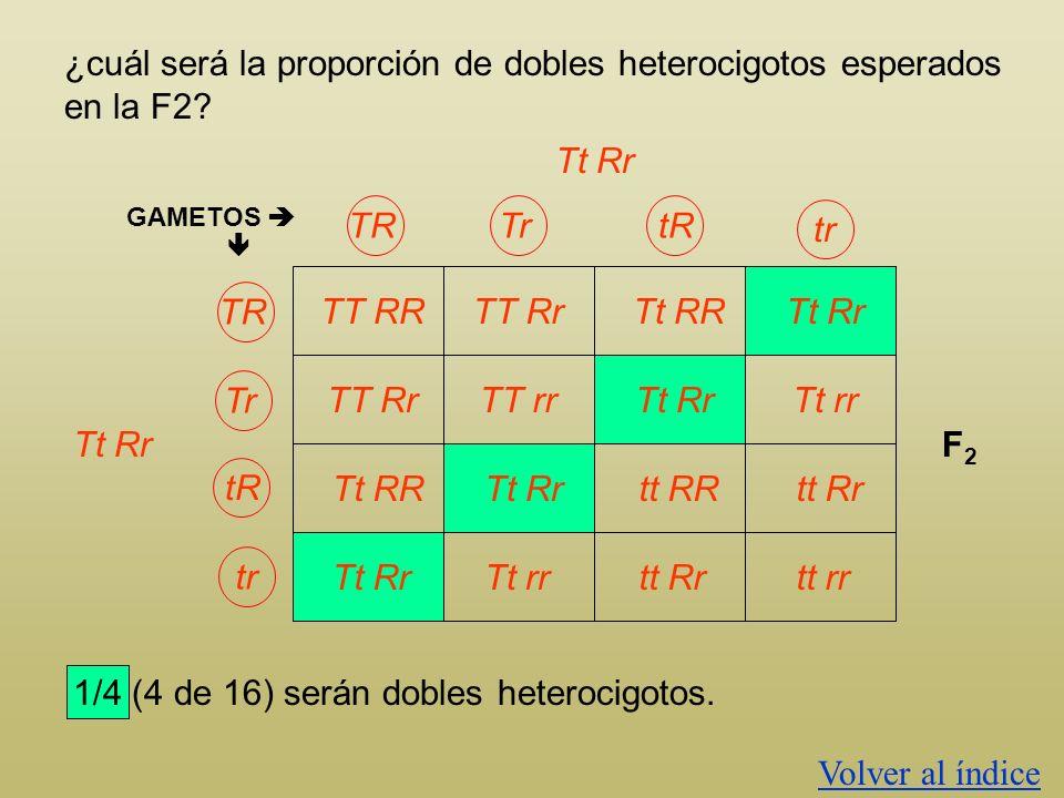 ¿cuál será la proporción de dobles heterocigotos esperados en la F2? GAMETOS TT RR Tt Rr F2F2 TT Rr Tt RR Tt Rr TT Rr TT rr Tt Rr Tt rr Tt RR Tt Rr tt