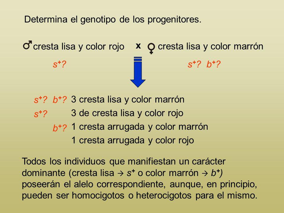 Las plumas de color marrón para una raza de gallinas están determinadas por el alelo b +, dominante sobre su recesivo b, que determina color rojo. En