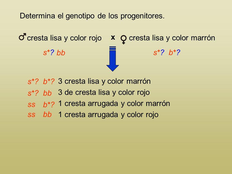 Determina el genotipo de los progenitores. Todos los individuos que manifiestan un carácter recesivo (cresta arrugada s o color rojo b) serán homocigo