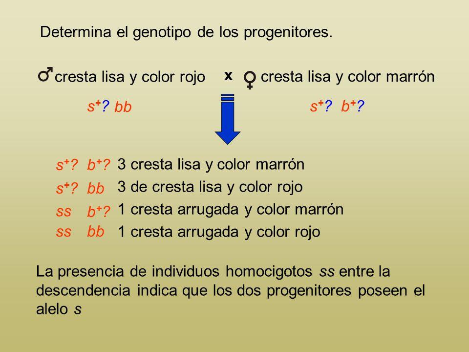 Determina el genotipo de los progenitores. 3 cresta lisa y color marrón 3 de cresta lisa y color rojo 1 cresta arrugada y color marrón 1 cresta arruga