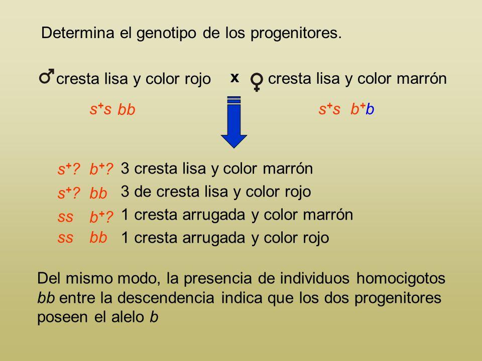 Determina el genotipo de los progenitores. Del mismo modo, la presencia de individuos homocigotos bb entre la descendencia indica que los dos progenit