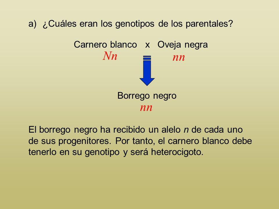 Carnero blanco x Oveja negra a)¿Cuáles eran los genotipos de los parentales? Borrego negro Al ser el negro el carácter recesivo, todos los individuos