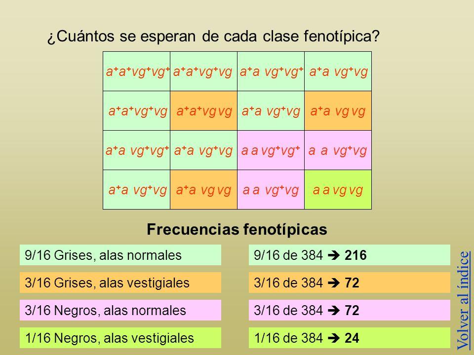 ¿Cuántos se esperan de cada clase fenotípica? GAMETOS a + vg + a + a + vg + vg + a + a vg + vg a + vga vg + a vga + vg + a + vga vg + a vg a + a + vg