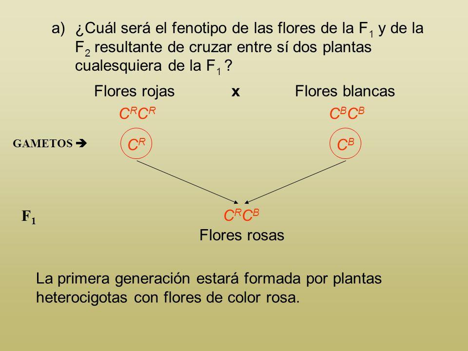 En el dondiego de noche (Mirabilis jalapa), el color rojo de las flores lo determina el alelo C R, dominante incompleto sobre el color blanco producid