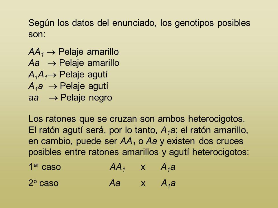 En el ratón, el color del pelo está determinado por una serie alélica. El alelo A es letal en homocigosis y pro- duce color amarillo en heterocigosis,