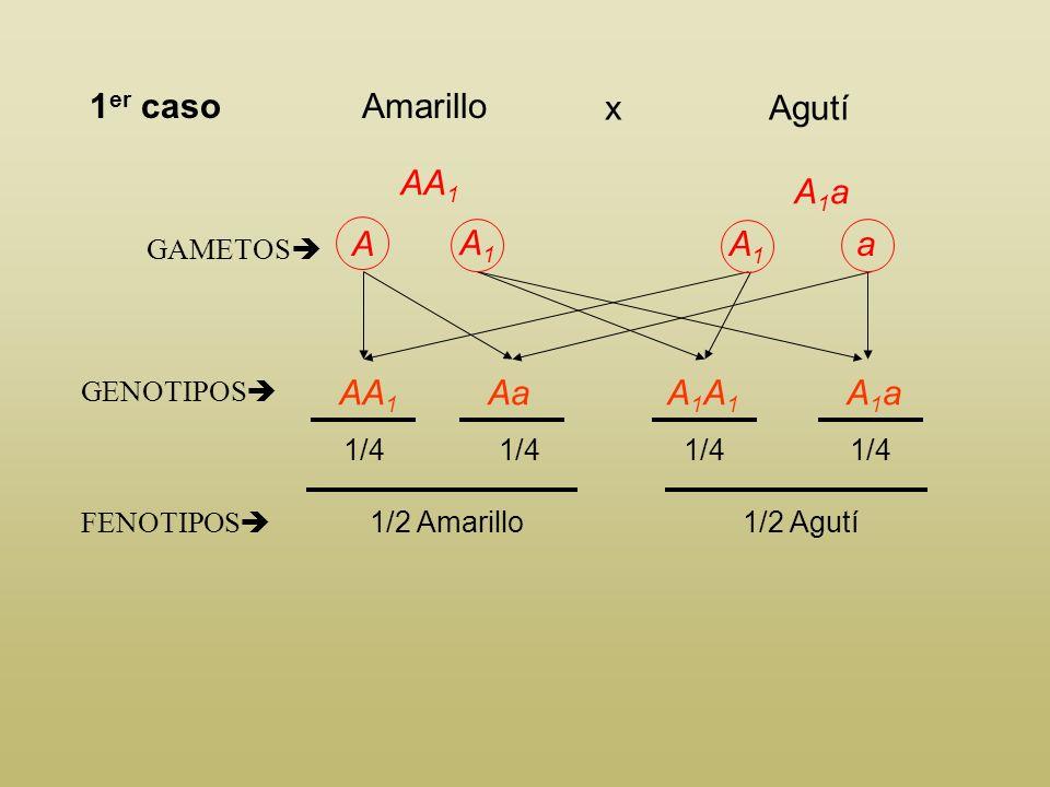 Según los datos del enunciado, los genotipos posibles son: AA 1 Pelaje amarillo Aa Pelaje amarillo A 1 A 1 Pelaje agutí A 1 a Pelaje agutí aa Pelaje n