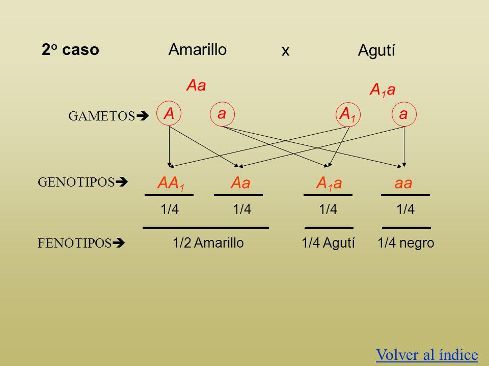 A1aA1a AA 1 GAMETOS A A1A1 a AA 1 A 1 A 1 AaA 1 a 1/4 FENOTIPOS 1 er casoAmarillo Agutíx A1A1 GENOTIPOS 1/2 Amarillo1/2 Agutí
