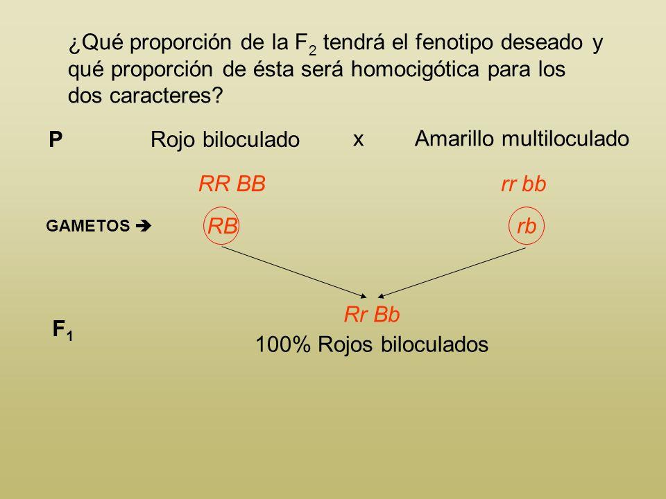 En el tomate, el color rojo (R) del fruto es dominante sobre el color amarillo (r) y la forma biloculada (B) domina sobre la multiloculada (b). Se des