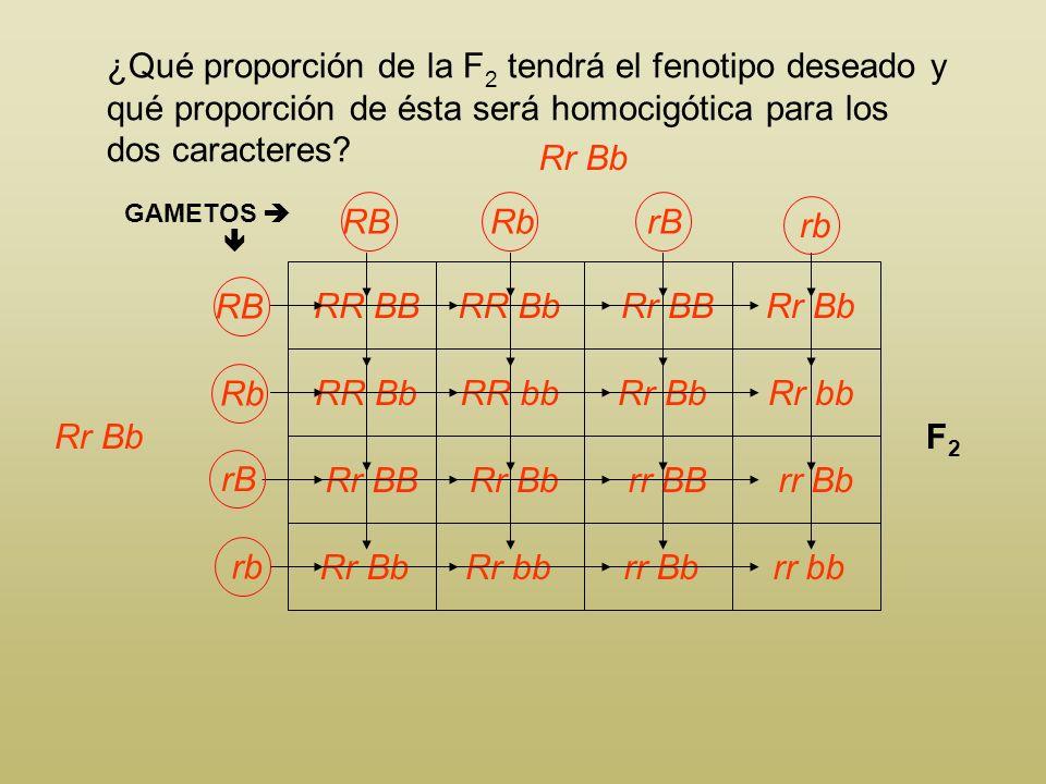 ¿Qué proporción de la F 2 tendrá el fenotipo deseado y qué proporción de ésta será homocigótica para los dos caracteres? Rojo biloculado xAmarillo mul