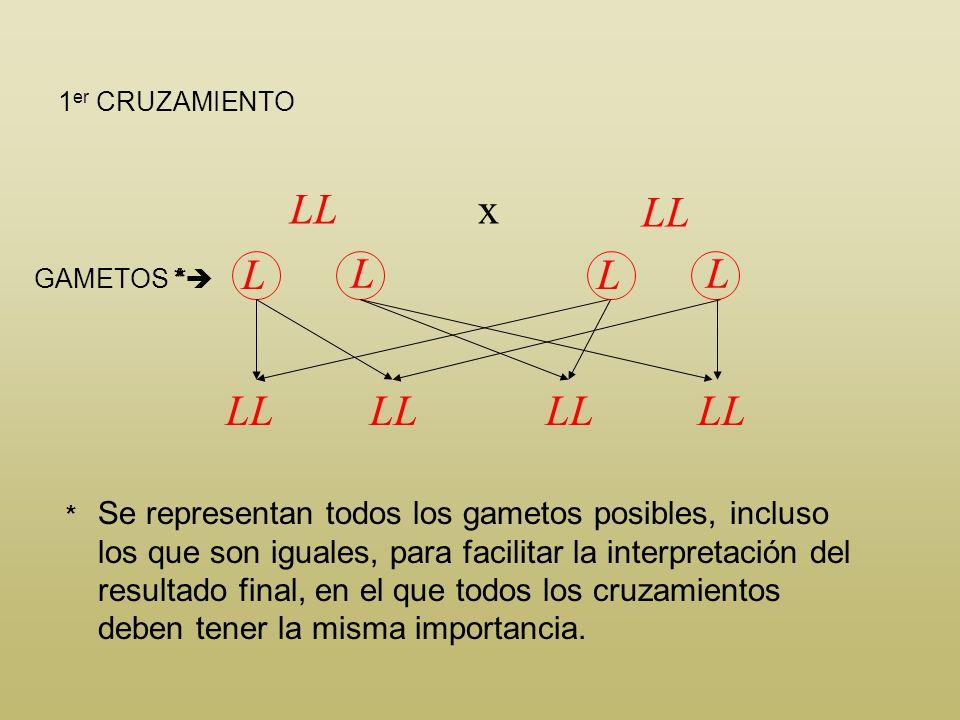 Toro heterocigótico x Vaca no portadora Ll LL LL l GAMETOS F 1 LLLl P Para obtener la F 2 se deben cruzar al azar los individuos de la F 1. Al haber e