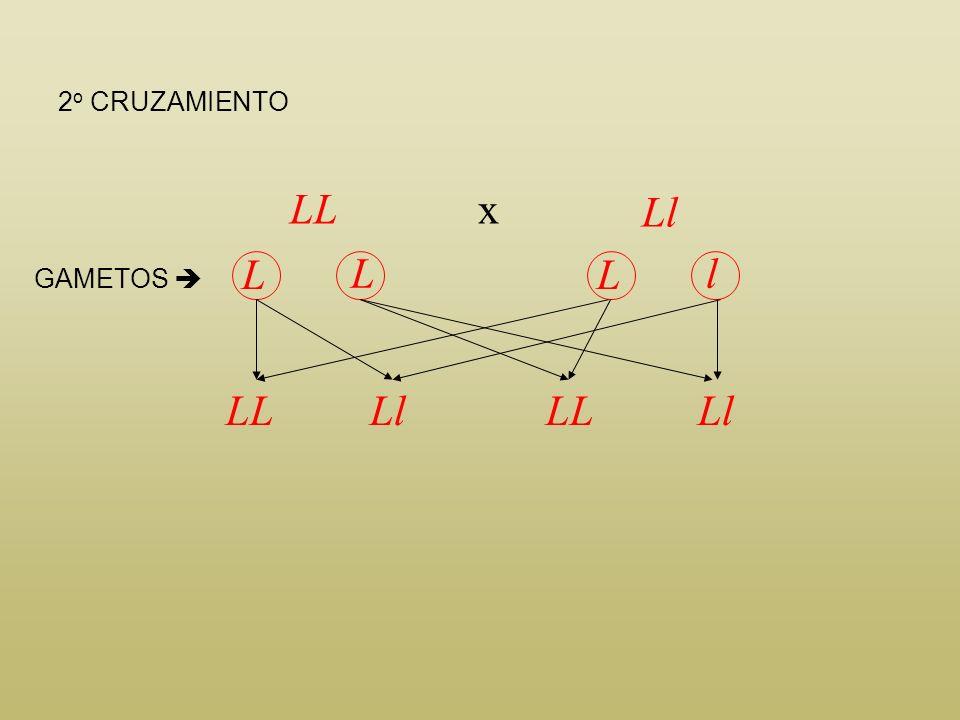 LL L L L L LLLLLLLL GAMETOS * 1 er CRUZAMIENTO * * Se representan todos los gametos posibles, incluso los que son iguales, para facilitar la interpret
