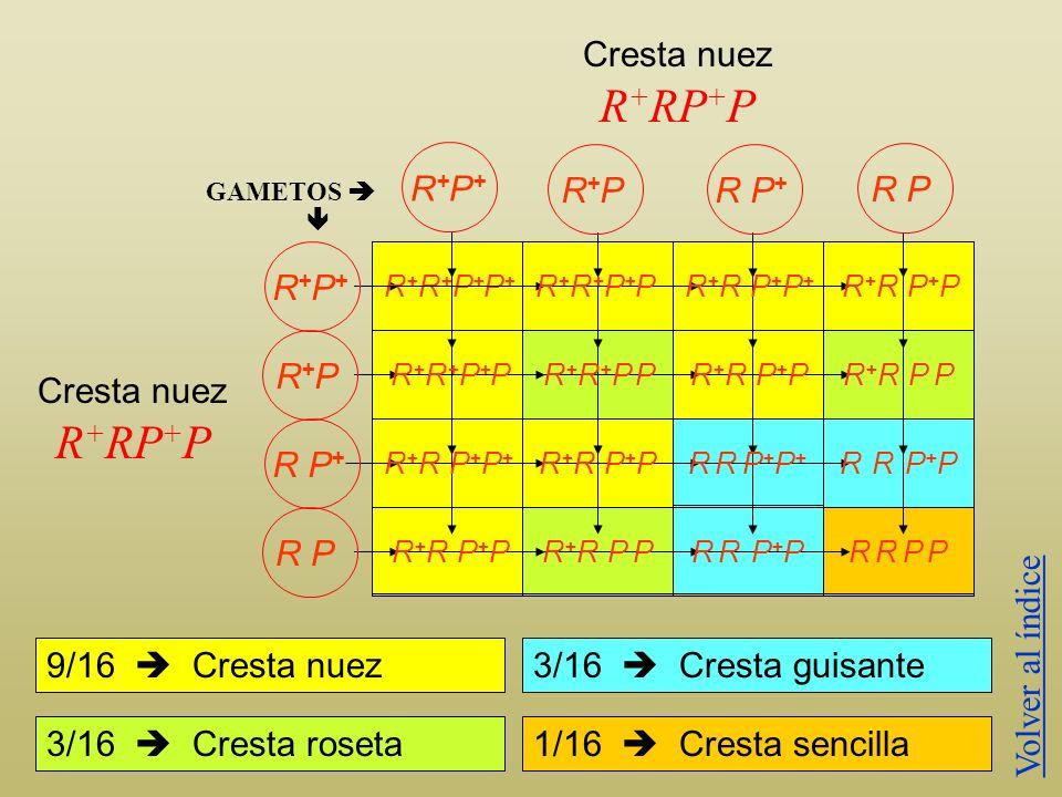 En la gallina los genes para la cresta en roseta R +, y la cresta guisante P +, si se encuentran en el mismo genotipo producen la cresta en nuez; de l