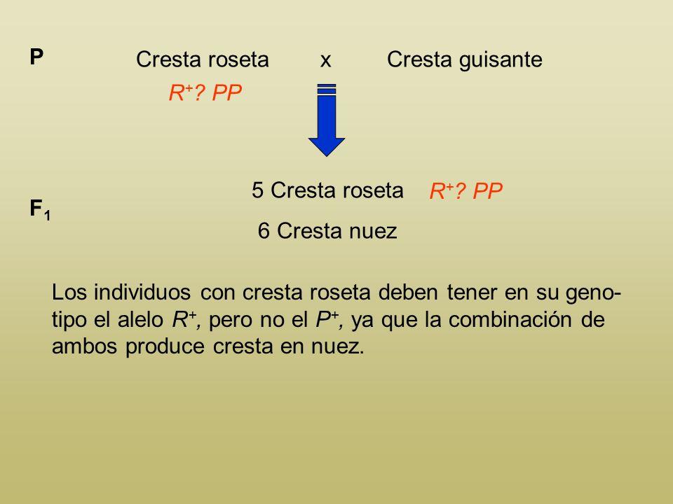 Determina el genotipo de los genitores sabiendo que el cruce de individuos con cresta roseta por individuos con cresta guisante produce una F 1 compue