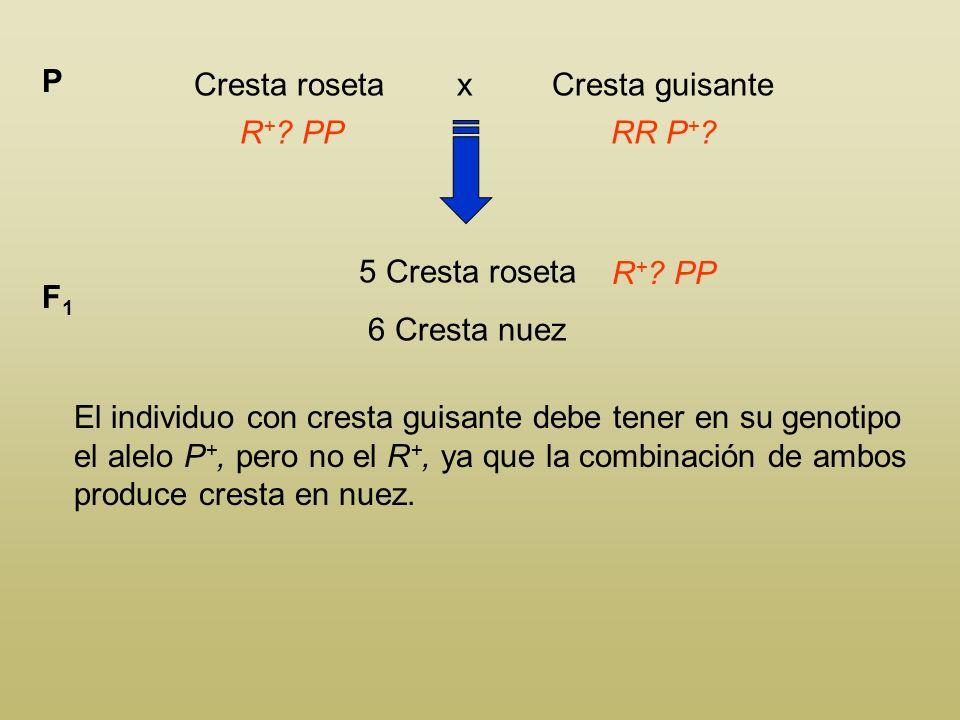 Cresta roseta x Cresta guisante P R + ? PP 5 Cresta roseta 6 Cresta nuez F1F1 R + ? PP Los individuos con cresta roseta deben tener en su geno- tipo e