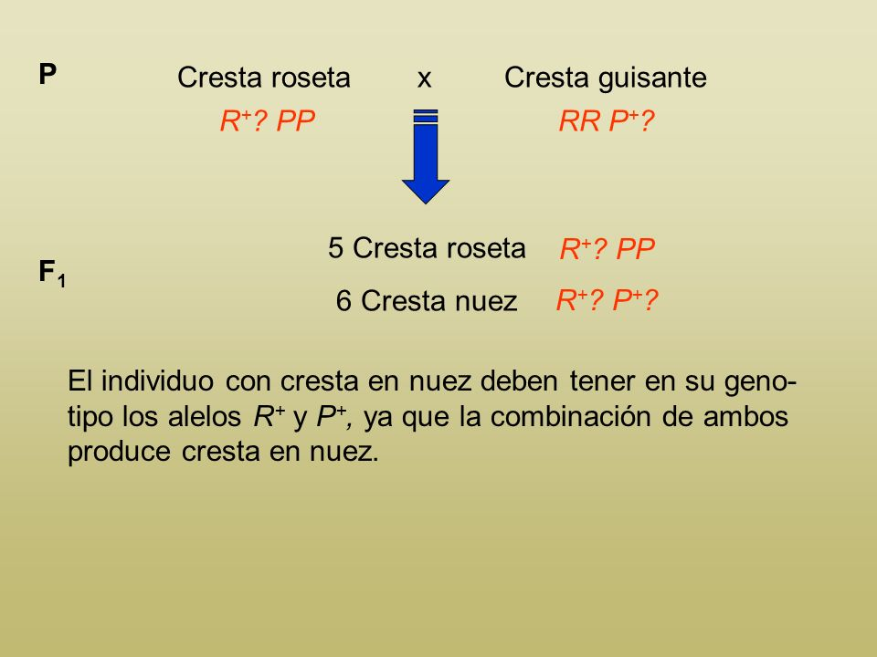Cresta roseta x Cresta guisante P R + ? PPRR P + ? 5 Cresta roseta 6 Cresta nuez F1F1 R + ? PP El individuo con cresta guisante debe tener en su genot