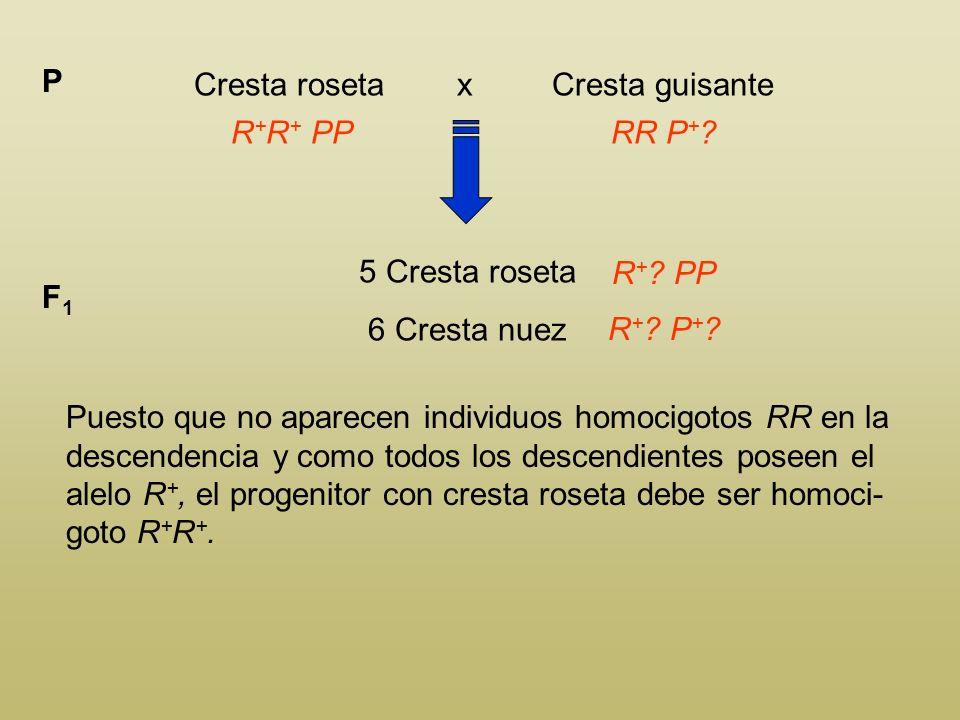 Cresta roseta x Cresta guisante P R + ? PPRR P + ? 5 Cresta roseta 6 Cresta nuez F1F1 R + ? PP R + ? P + ? Puesto que no aparecen individuos homocigot