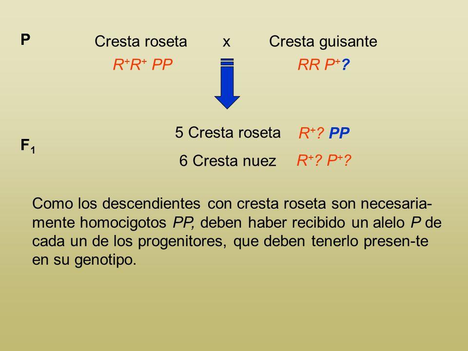 Cresta roseta x Cresta guisante P R + R + PPRR P + ? 5 Cresta roseta 6 Cresta nuez F1F1 R + ? PP R + ? P + ? Puesto que no aparecen individuos homocig