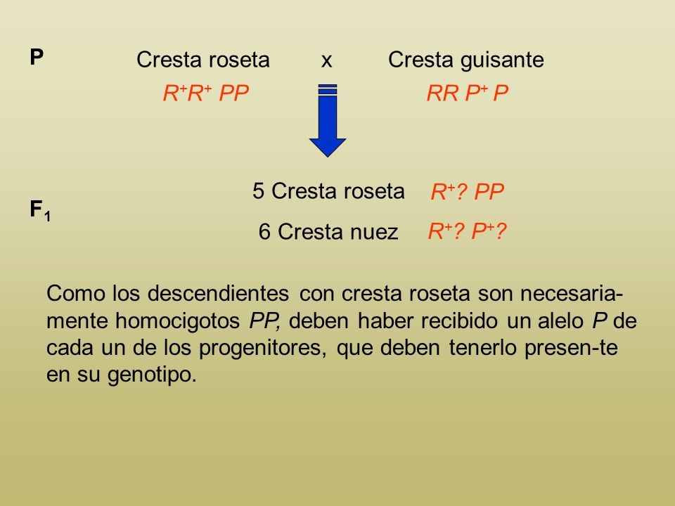 Cresta roseta x Cresta guisante P R + R + PPRR P + ? 5 Cresta roseta 6 Cresta nuez F1F1 R + ? PP R + ? P + ? Como los descendientes con cresta roseta