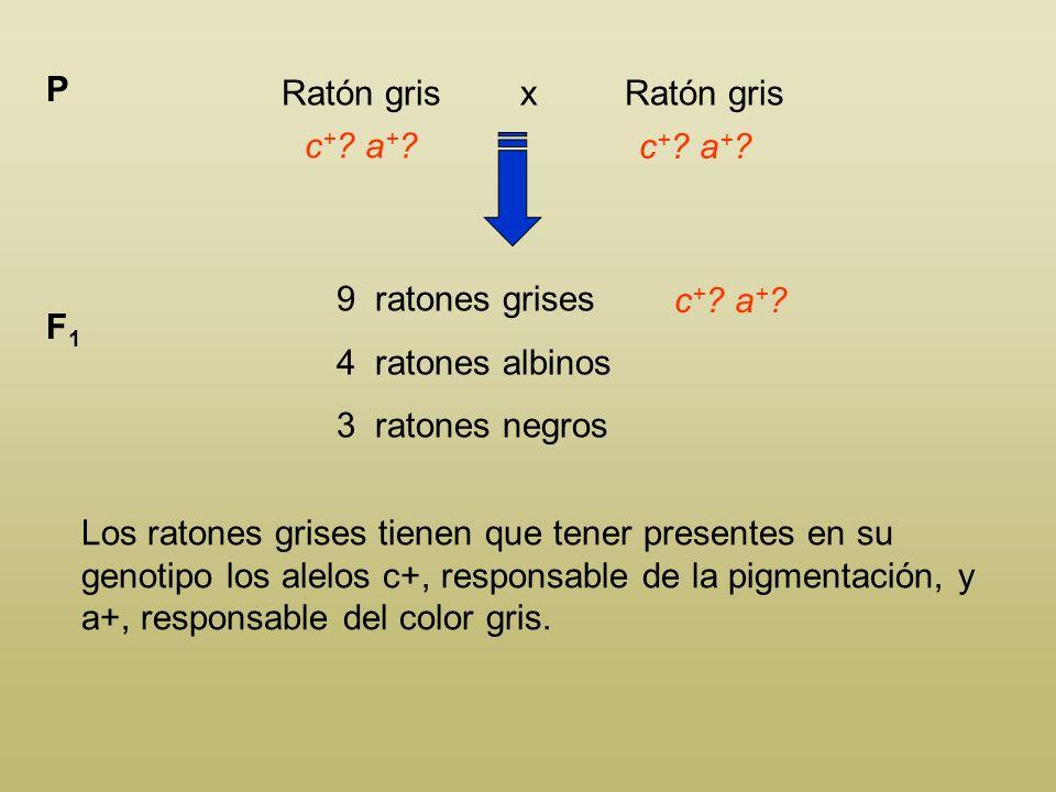 En el ratón el gen c + produce pigmentación en el pelo. La coloración de los individuos c + c + o c + c depende de su genotipo respecto a otro gen a +