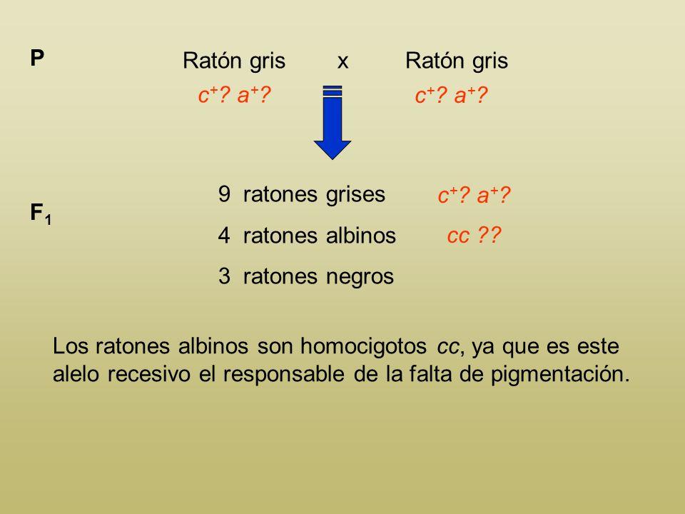 Ratón gris x Ratón gris P c + ? a + ? 9 ratones grises 4 ratones albinos 3 ratones negros F1F1 c + ? a + ? Los ratones grises tienen que tener present