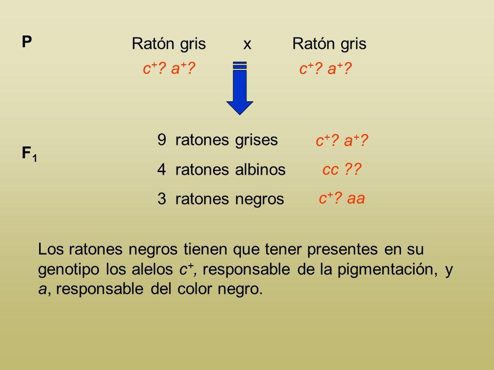 Ratón gris x Ratón gris P c + ? a + ? 9 ratones grises 4 ratones albinos 3 ratones negros F1F1 c + ? a + ? Los ratones albinos son homocigotos cc, ya