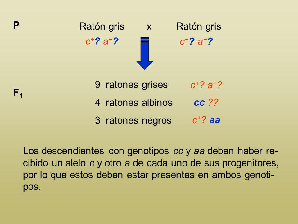 Ratón gris x Ratón gris P c + ? a + ? 9 ratones grises 4 ratones albinos 3 ratones negros F1F1 c + ? a + ? Los ratones negros tienen que tener present