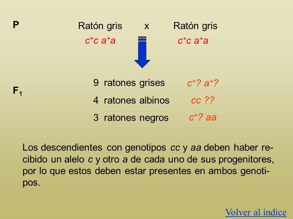 Ratón gris x Ratón gris P c + ? a + ? 9 ratones grises 4 ratones albinos 3 ratones negros F1F1 c + ? a + ? Los descendientes con genotipos cc y aa deb