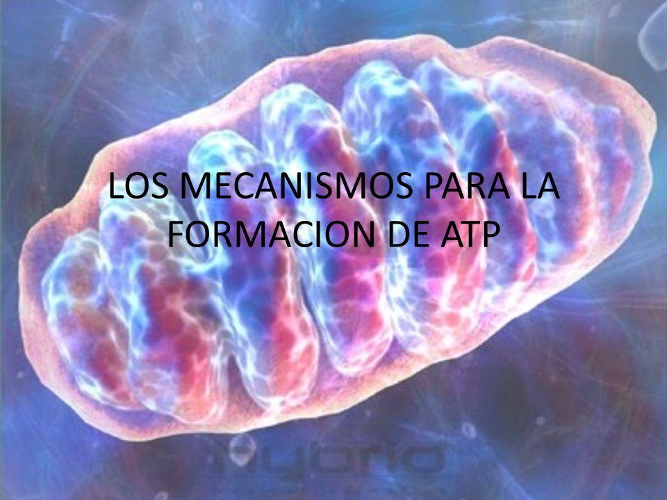 LOS MECANISMOS PARA LA FORMACION DE ATP