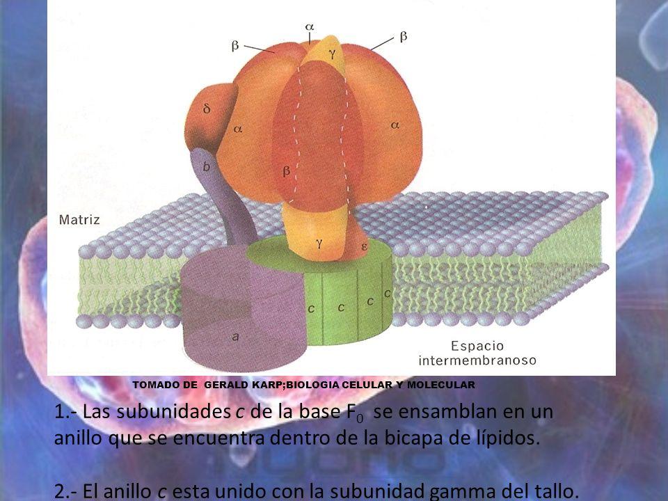 1.- Las subunidades c de la base F 0 se ensamblan en un anillo que se encuentra dentro de la bicapa de lípidos. 2.- El anillo c esta unido con la subu