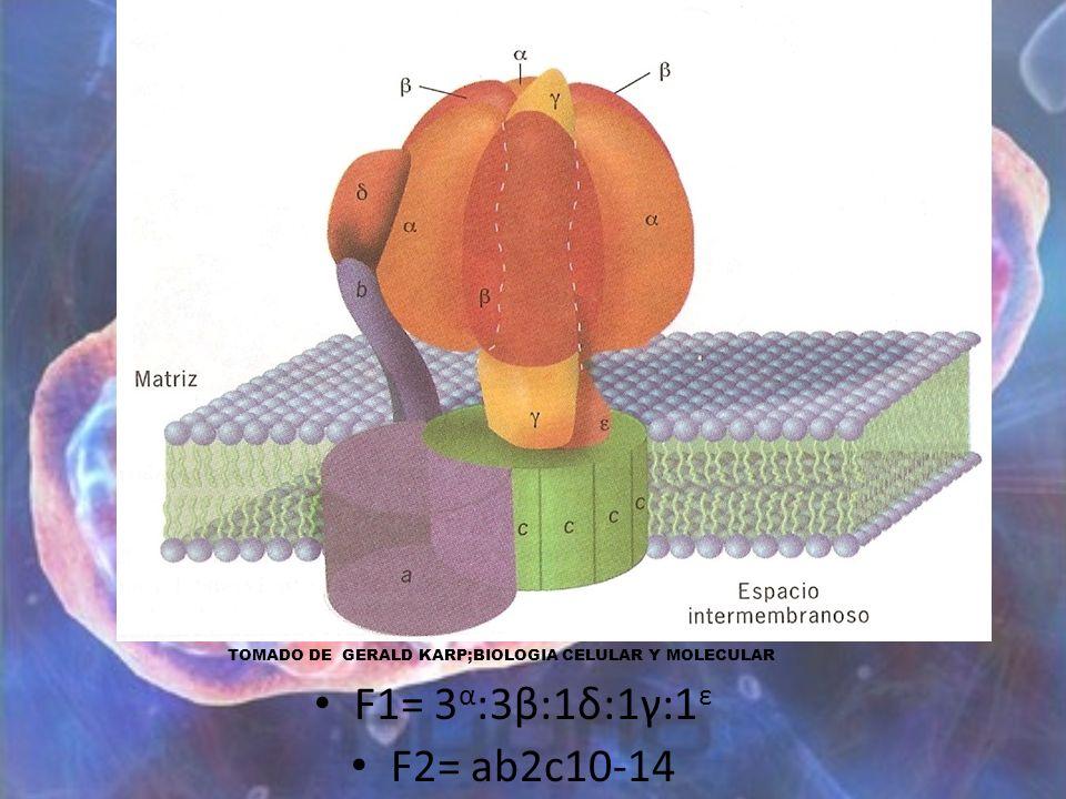 F1= 3 α :3β:1δ:1γ:1 ε F2= ab2c10-14 TOMADO DE GERALD KARP;BIOLOGIA CELULAR Y MOLECULAR