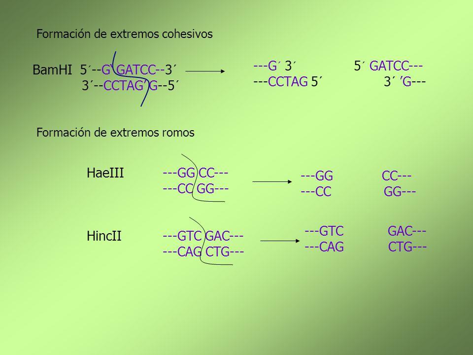 Formación de extremos cohesivos Formación de extremos romos BamHI5´--G GATCC--3´ 3´--CCTAG G--5´ ---G´ 3´ 5´ GATCC--- ---CCTAG 5´ 3´ G--- HaeIII---GG
