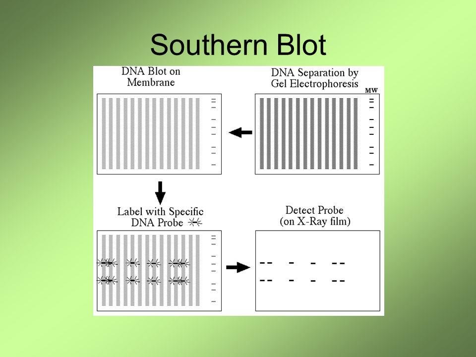 Dos muestras A y B de simple cadena Se blotearon sobre la membrana Se Incuba con la sonda marcada Solo la sonda complementaria se pega a la secuencia correspondiente Se revela por autoradiografía o por quimioluminiscencia.
