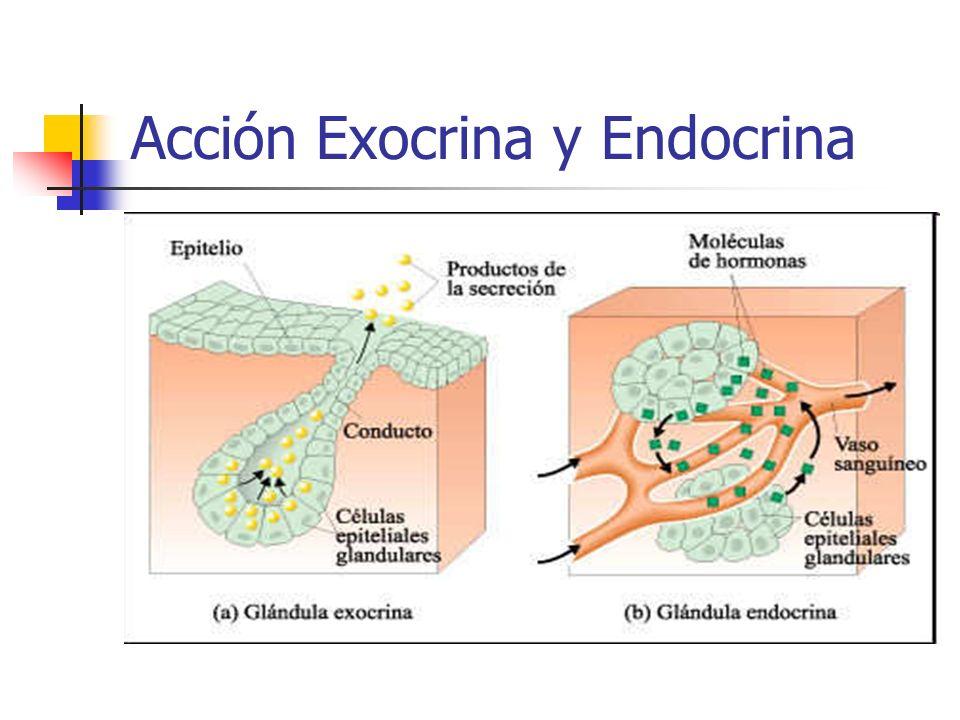 Acción Exocrina y Endocrina