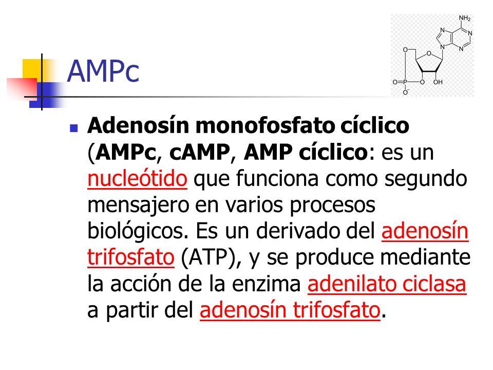 AMPc Adenosín monofosfato cíclico (AMPc, cAMP, AMP cíclico: es un nucleótido que funciona como segundo mensajero en varios procesos biológicos. Es un