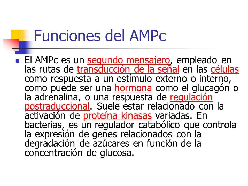 Funciones del AMPc El AMPc es un segundo mensajero, empleado en las rutas de transducción de la señal en las células como respuesta a un estímulo exte