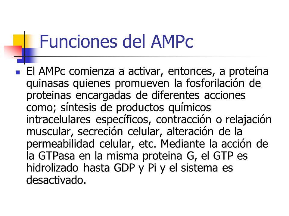 Funciones del AMPc El AMPc comienza a activar, entonces, a proteína quinasas quienes promueven la fosforilación de proteinas encargadas de diferentes