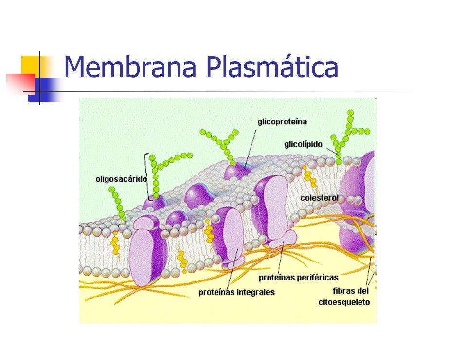 Funciones del AMPc El AMPc es un segundo mensajero, empleado en las rutas de transducción de la señal en las células como respuesta a un estímulo externo o interno, como puede ser una hormona como el glucagón o la adrenalina, o una respuesta de regulación postraduccional.