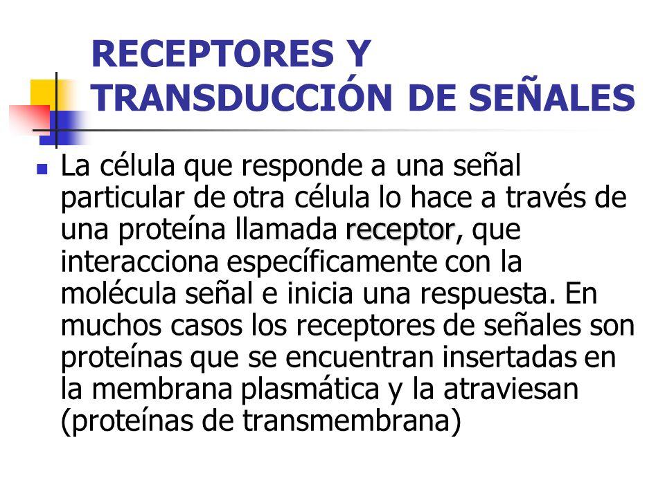 RECEPTORES Y TRANSDUCCIÓN DE SEÑALES receptor La célula que responde a una señal particular de otra célula lo hace a través de una proteína llamada re