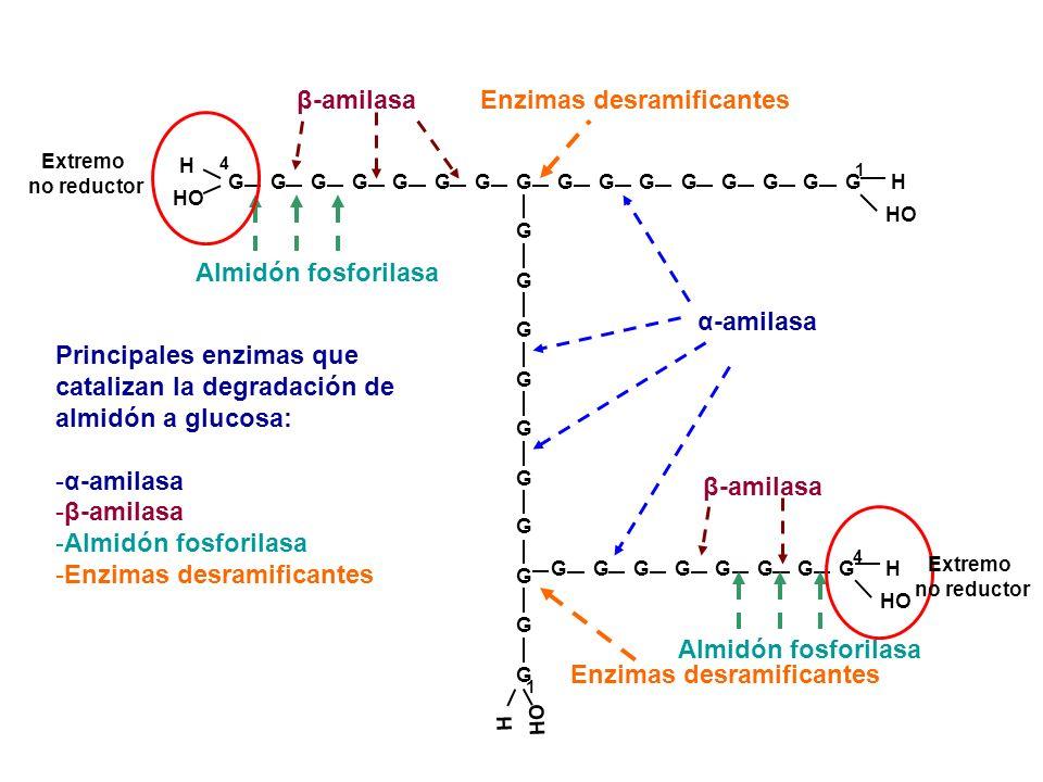 α-amilasa Enzimas desramificantes Almidón fosforilasa G G G G H HO G G G G 4 H G G G G G G G G G G G G H G G G G β-amilasa 4 1 G G G G G G G G G G H H