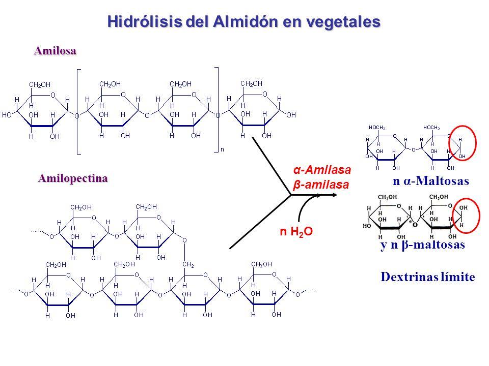 Amilosa Amilopectina n α-Maltosas Dextrinas límite Hidrólisis del Almidón en vegetales α-Amilasa β-amilasa n H 2 O y n β-maltosas