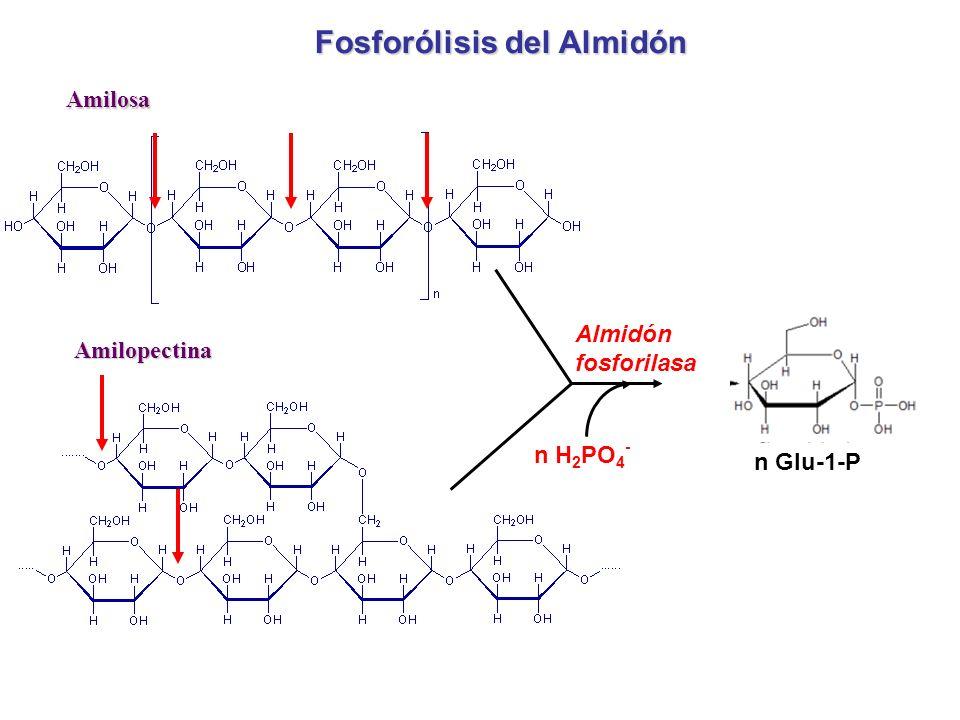 Amilosa Amilopectina Fosforólisis del Almidón Almidón fosforilasa n H 2 PO 4 - n Glu-1-P