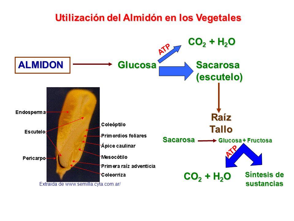 Glucosa Utilización del Almidón en los Vegetales CO 2 + H 2 O ATP Sacarosa(escutelo)ALMIDON Extraida de www.semilla.cyta.com.ar/ RaízTallo Sacarosa Gl