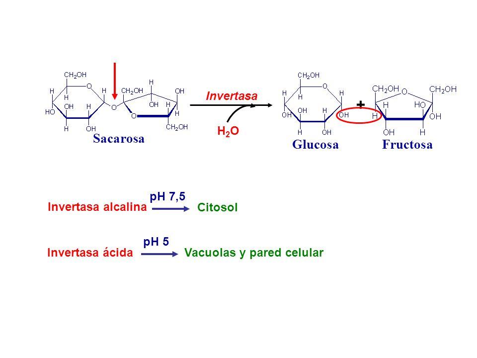 Sacarosa Invertasa Glucosa + Fructosa H2OH2O Invertasa alcalina Invertasa ácida pH 7,5 pH 5 Citosol Vacuolas y pared celular