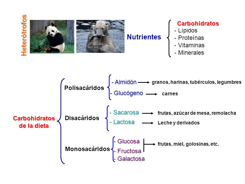 Heterótrofos Nutrientes - Carbohidratos - Lípidos - Proteínas - Vitaminas - Minerales Carbohidratos - Galactosa Carbohidratos de la dieta Polisacárido