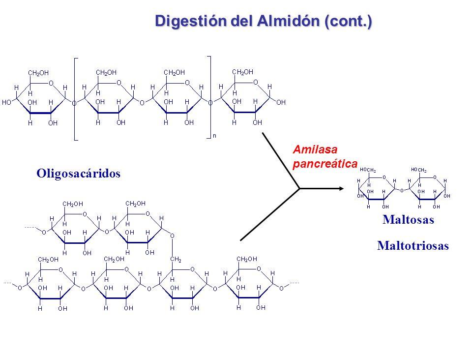 Amilasa pancreática Maltosas Maltotriosas Oligosacáridos Digestión del Almidón (cont.)