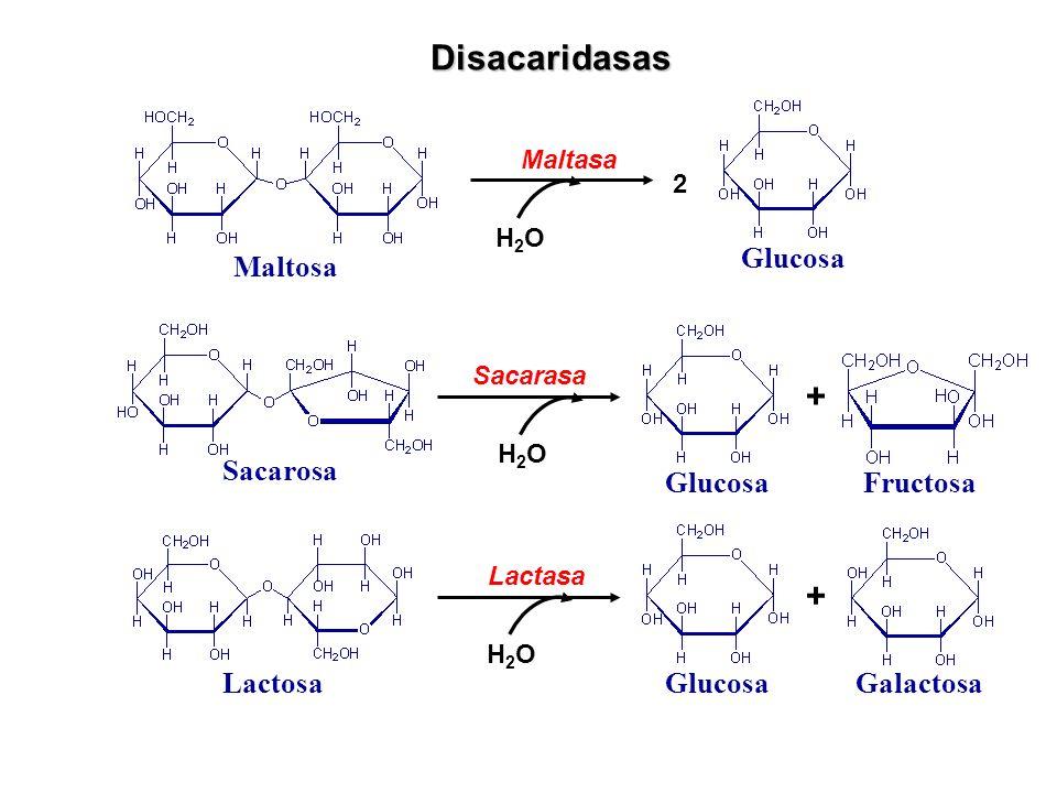 Disacaridasas Maltosa Maltasa 2 Glucosa H2OH2O Sacarosa Sacarasa Glucosa + Fructosa H2OH2O Lactosa Lactasa Glucosa + Galactosa H2OH2O
