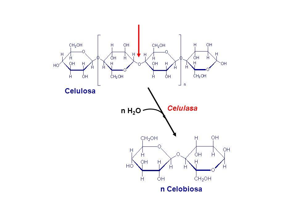 Celulasa Celulosa n Celobiosa n H 2 O